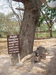 """A tree in """"The Killing Fields"""" which executioners supposedly beat children against to kill them - it was cheaper than bullets."""