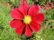this is a cosmo flower.  THATS RIGHT ITS THE NAME OF A PRETTY FLOWER AND ITS REAL!