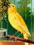 Corny Canary